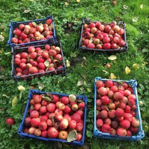 Apple picking!